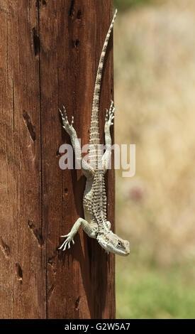 Infraorder Gekkota Gecko (lagarto) en un poste de telégrafo, Balalan, Chipre Septentrional.