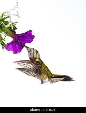 Rubí-throated hummingbird que recolectan néctar.