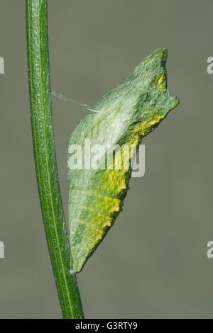A principios de la fase de pupa E Especie Papilio polyxenes (mariposas) oriental de América del Norte