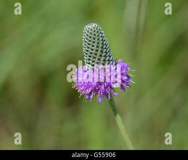 Las praderas de trébol violeta