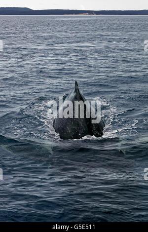 La ballena jorobada (Megaptera novaeangliae) buceo, Queensland, el Pacífico, Australia