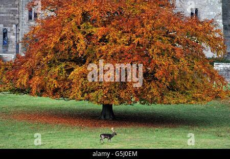 Un ciervo se ve en los terrenos del Castillo de Raby en Darlington, Co Durham, durante la temporada de corte.