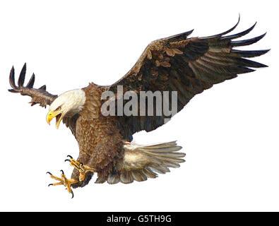 El águila calva mano dibujar y pintar sobre fondo blanco ilustración ...