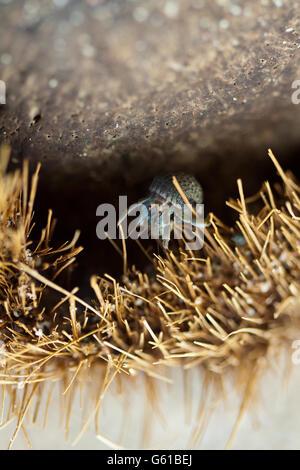 Cangrejo ermitaño en la cáscara de coco