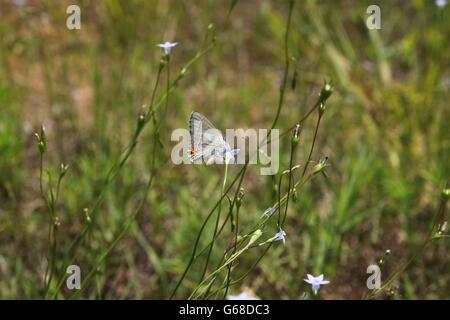 Oriental-cola mariposa azul y flores. Foto de stock