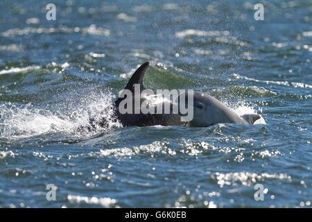 El delfín mular (Tursiops truncatus), el ternero spyhopping mientras asfaltado junto a su madre en el Moray Firth en punto Chanonry Foto de stock