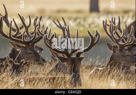 Ciervos el ciervo rojo (Cervus elaphus) descansando en el pasto largo, en terciopelo cornamenta.