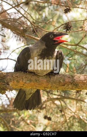 Crow encapuchados en la rama de árbol