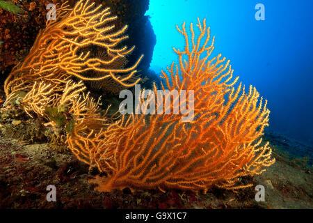 Amarillo mar mediterráneo gorgonia, ventilador, ventilador, coral mediterráneo / (Eunicella cavolinii)