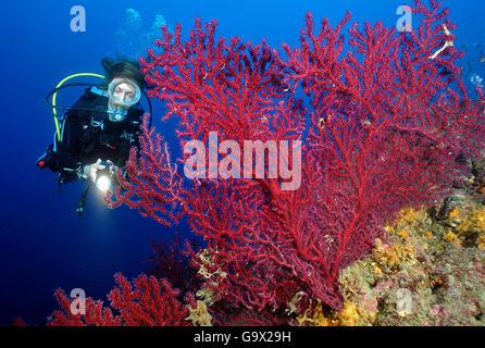 Diver y mediterráneo, el parque nacional marino de coral del ventilador, Ligury Portofino, Italia, Europa, el Mar Mediterráneo / (paramuricea clavata)