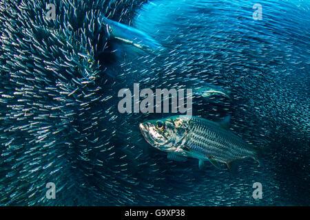 La larga exposición de un grupo de sábalo (Megalops atlanticus) una escuela de caza de pejerrey (Atherinidae) en una caverna de coral. Oriente E