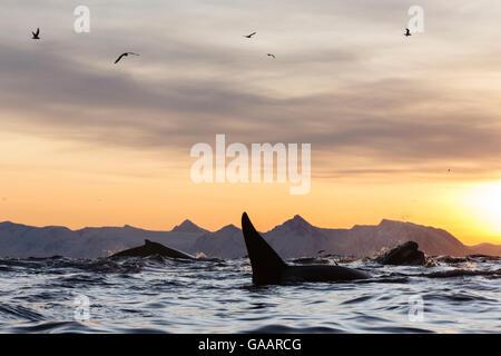 Las ballenas jorobadas (Megaptera novaeangliae) y la orca (Orcinus orca), alimentándose de una bola de cebo de arenque. Andfjorden cerca de Andoya, Nordland, en el norte de Noruega. De enero.