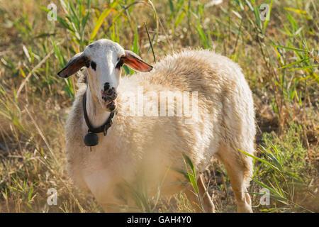 Gracioso retrato de ovejas en una pradera.