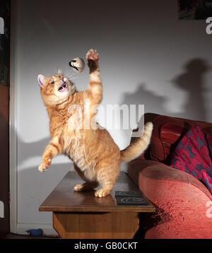 Jengibre Gato jugando con el ratón de juguete