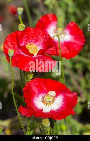 Centros blancos son una marca de la verdadera Shirley poppy, una forma de la planta anual resistente Papaver rhoeas