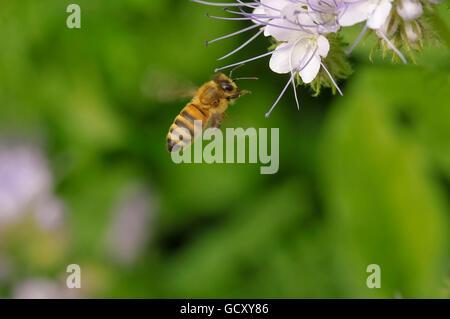 Una abeja a Lacy phacelia (Phacelia tanacetifolia)