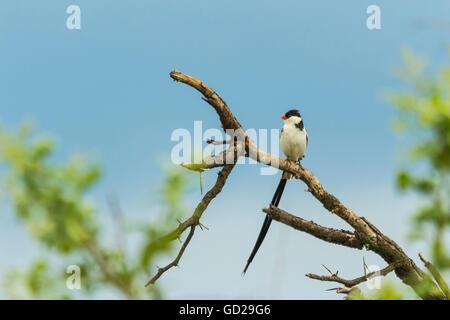 Pintailed Whydah sentado en una rama con un fondo de cielo azul Foto de stock