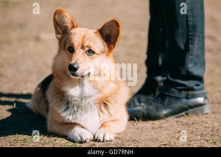 Gracioso Welsh Corgi perro sentarse al aire libre. El Welsh Corgi es un tipo pequeño de perro de pastoreo que se originó en Gales.