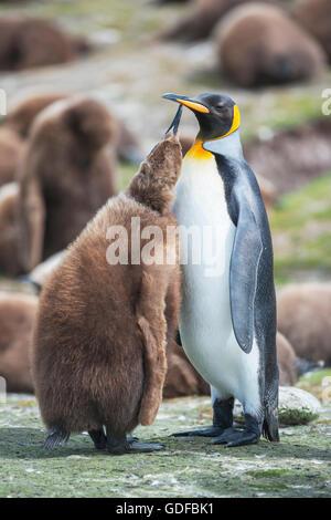 Un adulto de pingüino rey (Aptenodytes patagonicus) que alimentan su chick, East Falkland, Islas Malvinas, en el Atlántico sur