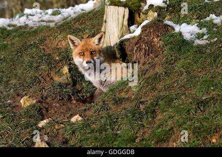 Zorro Rojo Vulpes vulpes, ADULTO EN DEN ENTRADA, Normandía en Francia