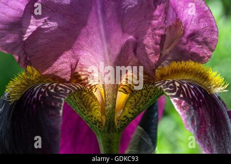 Iris (Iris sp.), iris barbado, closeup, Baden-Württemberg, Alemania