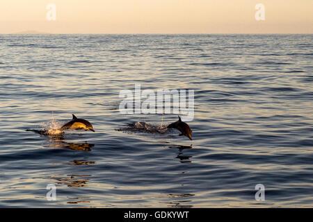 Larga picuda Delfines Comunes del Océano Pacífico, Baja California, México