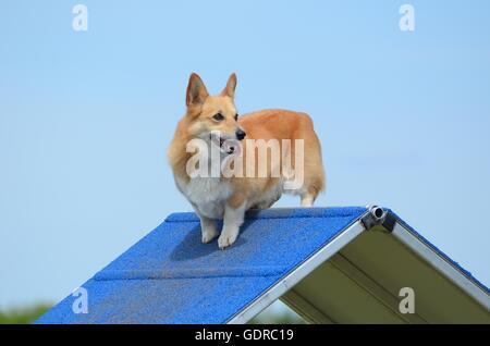 Pembroke Welsh Corgi de pie sobre un bastidor en un juicio de la agilidad del perro