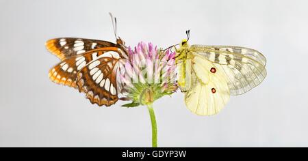 Un Lorquin es Almirante (Limenitis lorquini) Mariposas, y una mariposa Apolo americana a lo largo del río Metolius en el Oregon Cas