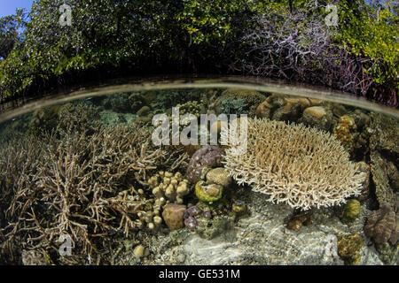 Un buen conjunto de corales crece en aguas poco profundas en Raja Ampat, Indonesia. Esta región es conocida por su alta biodiversidad marina.