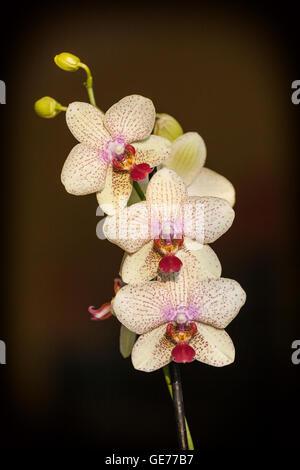 Orquídea rosa pálido