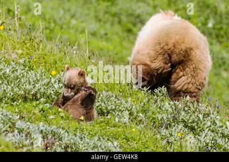 Sow (hembra) oso grizzly (Ursus arctos horribilis) con el Cubs, proximidad a la autopista, pase el Parque Nacional Denali, Alaska, EE.UU.