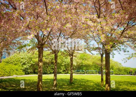 Sakura cerezos lleno de hermosas flores