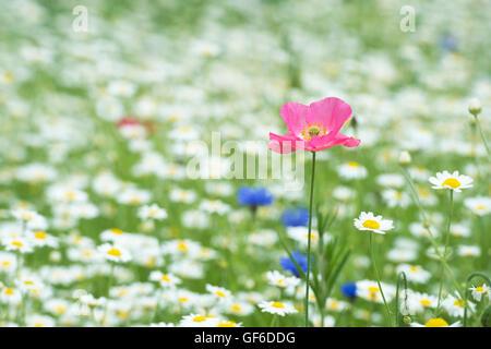 Papaver rhoeas True Shirley Poppy y Anthemis arvensis / maíz flores de manzanilla en un wildflower meadow