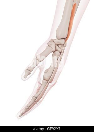 Los músculos de la muñeca Foto & Imagen De Stock: 13172866 - Alamy