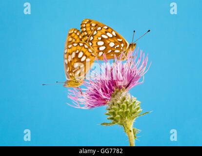 Un par de mariposas, Speyeria Zerene Speyeria zerene aterrizó en un Toro de cardo (Cirsium vulgare) en busca de néctar.