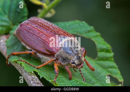 / Mayo cockchafer común (Melolontha melolontha bug) en la hoja