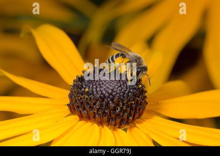 Bee sentado en flor amarilla en vista de macros