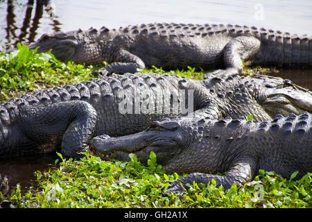 Lagartos americanos sentados a lo largo de la orilla de un pantano en Gainesville, Florida
