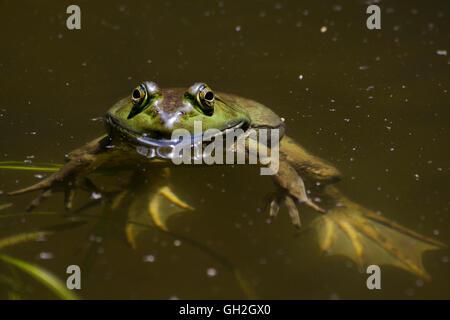 La rana toro en el estanque cercano