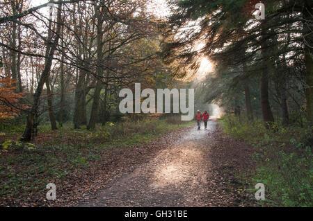 Los rayos de sol de otoño caiga a través de árboles como pareja a caminar por una pista forestal - Harrogate, North Yorkshire, Inglaterra. Foto de stock