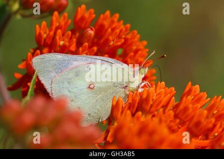 Una mujer blanca forma empañadas de azufre (Colias philodice mariposas) nectaring sobre mariposas flores de malezas (Asclepias tuberosa), Indiana, Estados Unidos