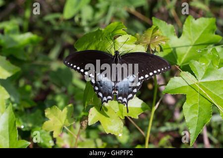 Un macho Spicebush especie butterfly (Papilio Troilo) regodearse en un retoño de arce en Big Oaks National Wildlife Foto de stock