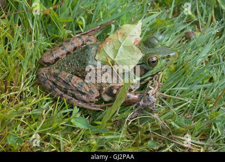 Rana Verde Rana clamitans en hierba, parcialmente con la hoja oculta en la parte posterior, E EE.UU.