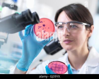 El examen científico de Petri conteniendo el cultivo bacteriano cultivadas en laboratorio