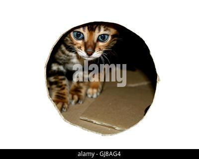 Gato de Bengala gatito cabeza peeking a través de mirar el agujero de la caja de cartón en blanco