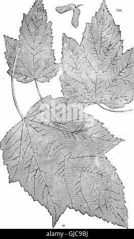 Los árboles y arbustos - una versión abreviada del Arboretum et fruticetum britannicum - conteniendo el hardy schrubs y árboles de Gran Bretaña, nativos y extranjeros, científicamente y popularmente descrito -con sus