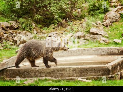 Imagen de un oso pardo en el parque de animales. Suecia.