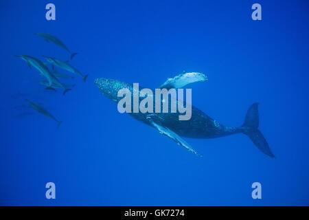 Hawaiian delfines giradores de Grey o delfines, Stenella longirostris longirostris, bow-cabalgando sobre la ballena jorobada, Megaptera