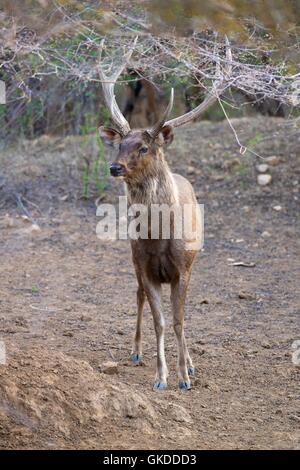 Ciervos sambar, ciervo cervus unicolor, el parque nacional de Ranthambore, Rajastán, India, Asia