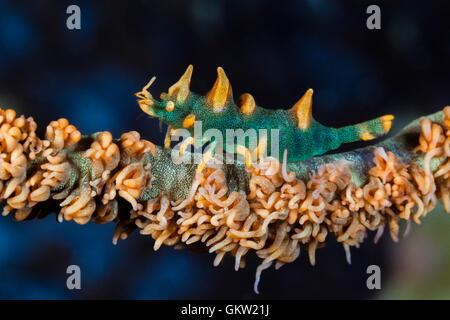 Camarones, dragón Miropandalus hardingi, Ambon, en las Molucas, Indonesia